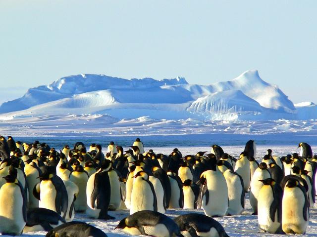 emperor-penguins-antarctic-life-animal-46235